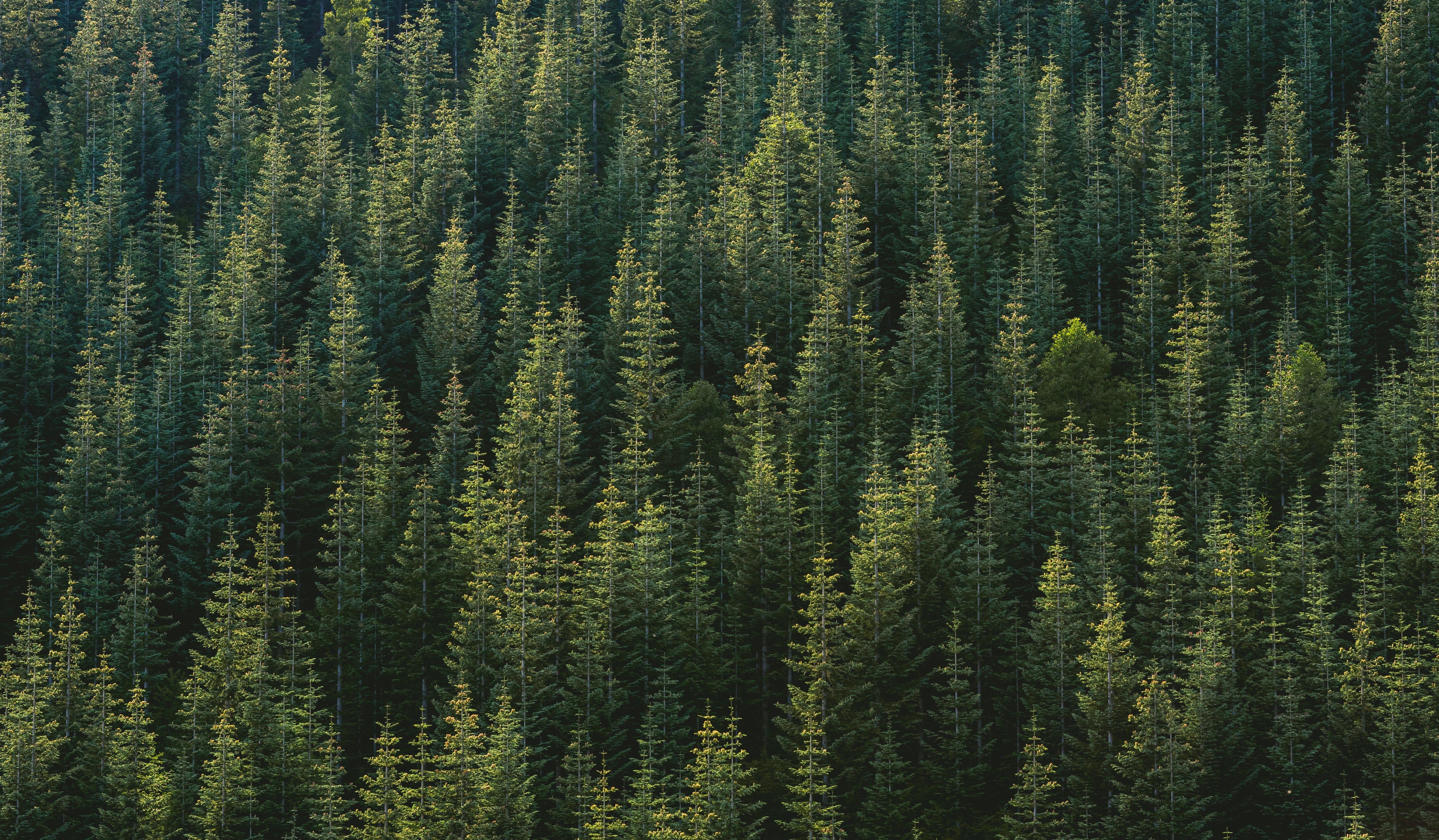 Evergreen forrest