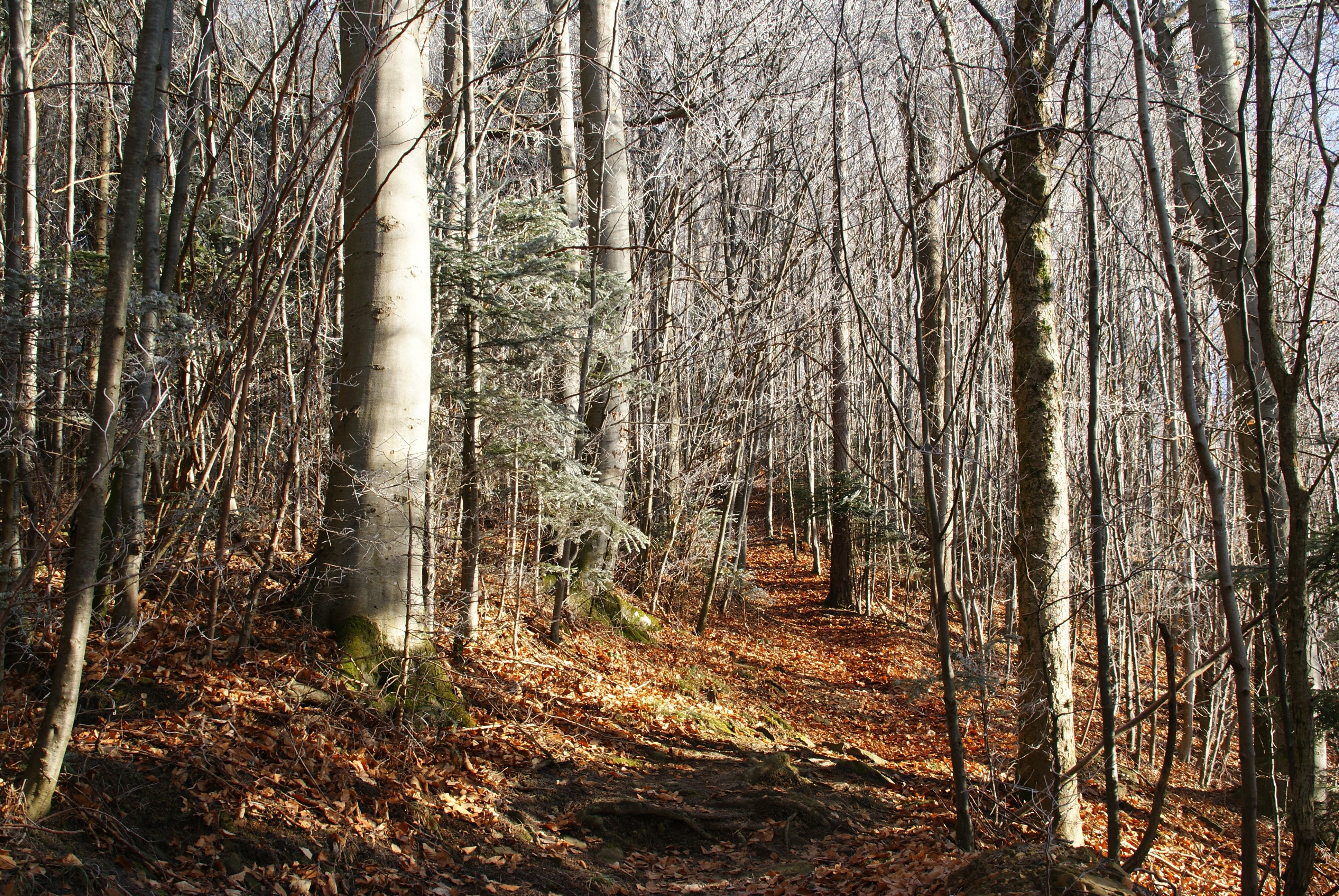 Forrest of leafless trees