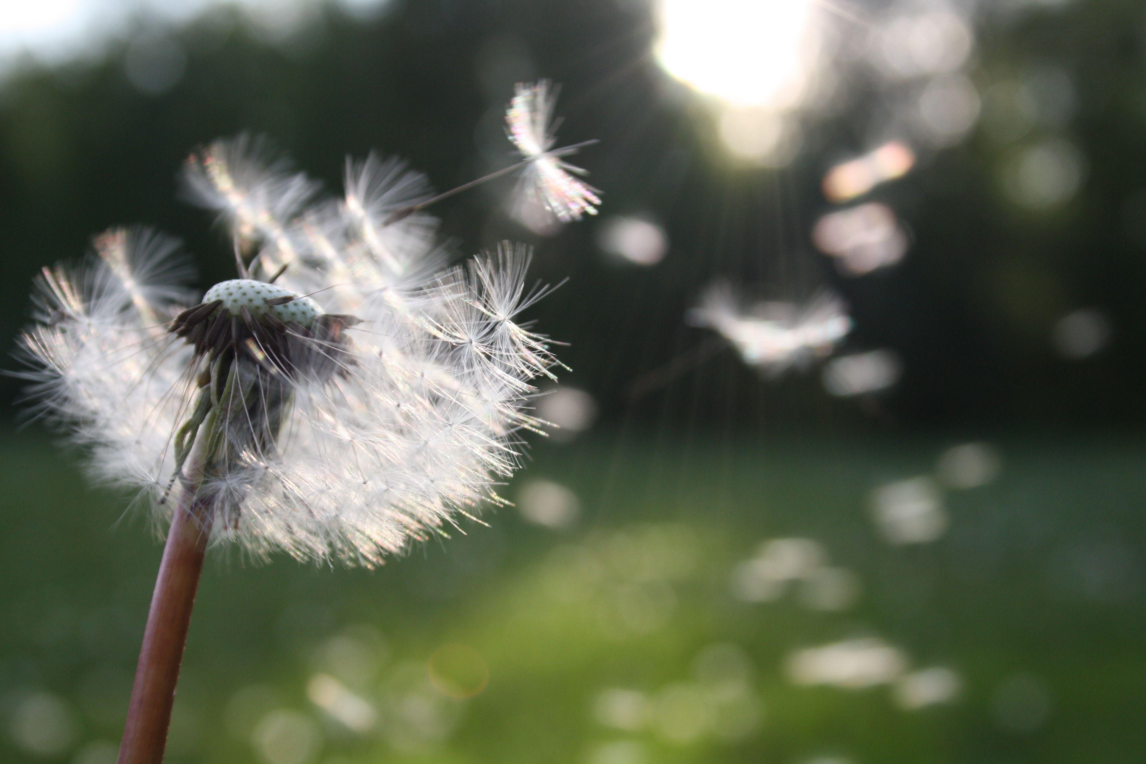 Dandelion in grass field
